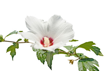 Isolated white flower on the white background