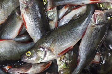 Big catch of perch (Perca fluviatilis)