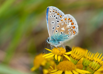 Common Blue butterfly feeding on Yellow Flower