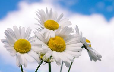 Photo sur Plexiglas Marguerites Camomile flowers on wide field