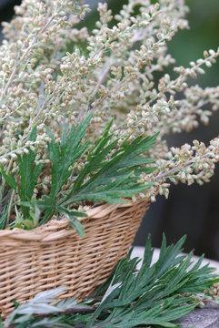 Gemeiner Beifuß (Artemisia vulgaris ) Heilpflanze