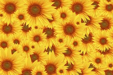 Fototapete - Sonnenblumen
