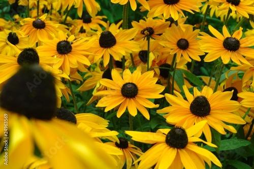 gelbe blumen wiese stockfotos und lizenzfreie bilder auf bild 24963569. Black Bedroom Furniture Sets. Home Design Ideas