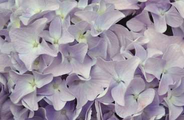 Purple Hydrangea background