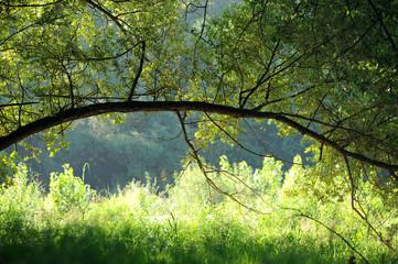 salici alberi 1069