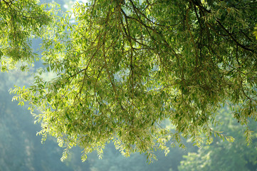 salici alberi 1070