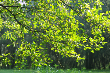 pioppi alberi 1081