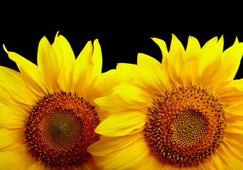 Two sunflowers on black background