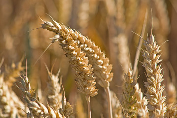Erntereife Weizenähren