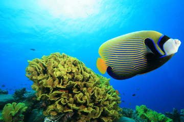 Emperor Angelfish (Pomacanthus imperator) and Corals