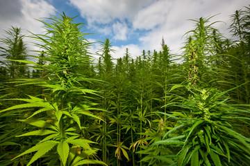 hanfblüten, feld, cannabis