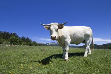 cow threatening