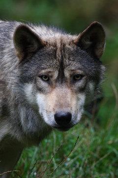 Wolf 9118