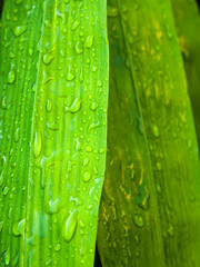 water drop on bamboo leaf