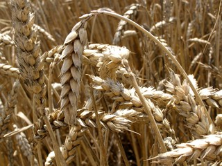 wheat field background