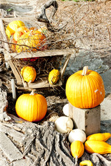 still life of pumpkins