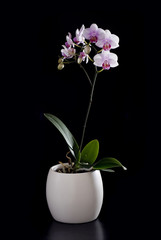 ORCHID IN THE POT