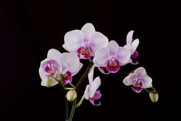ORCHID ON THE BLACK BACKGROUND