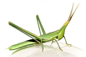 long-headed grasshopper (Acrida bicolor) isolated on glass