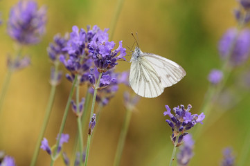 Closeup of cabbage white butterfly on lavender blossom