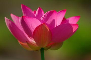 fior di loto fiori 734