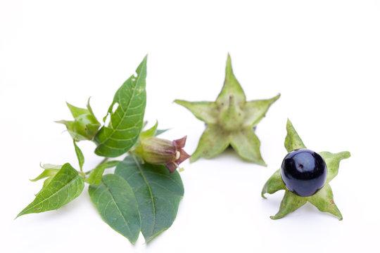 Tollkirsche (Atropa belladonna) - Blüte und Beeren