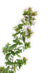 Oregano (Origanum majorana) schräg vor weißem Hintergrund