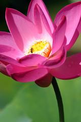 fior di loto fiori 841