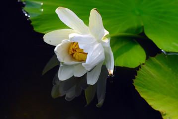 ninfea fiori 884