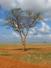 Acacia africana