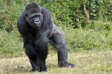 Gorille de 11 ans