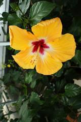 Gros plan sur un Hibiscus jaune et rose en serre