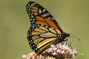 Monarch profile.