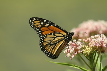 Monarch feeding on milkweed plant
