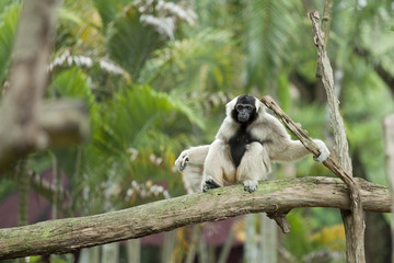 White cheek gibbons