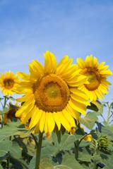 Ripe bright sunflower growing on a farmer field