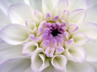 Closeup of white dahlia