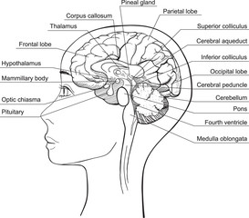 Midsagittal Section of the Human Brain, vector