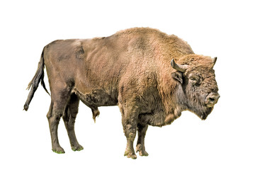 Fotorolgordijn Bison The European bison on a white background