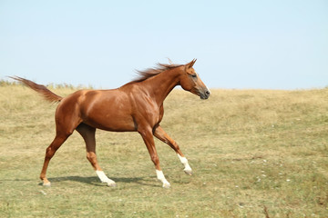 Red mare_