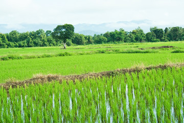 Green rice field.