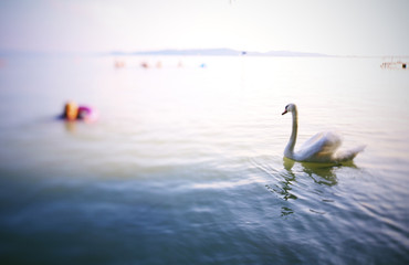 Swan on the lake with a swimmer