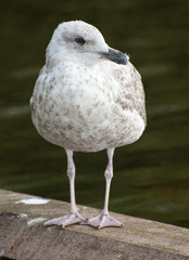 young seagull standing on the waterside