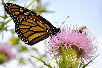 Monarch Butterfly on a burdock flower