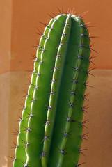 pianta grassa fiori 997
