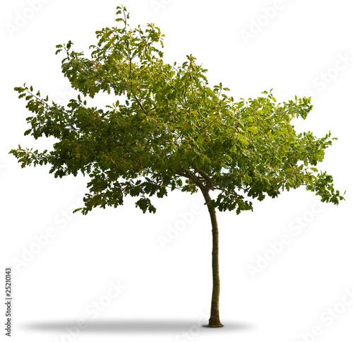 arbre et feuillage vert isol sur fond blanc jeune ch ne photo libre de droits sur la banque. Black Bedroom Furniture Sets. Home Design Ideas