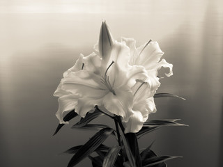 Tenderness lily