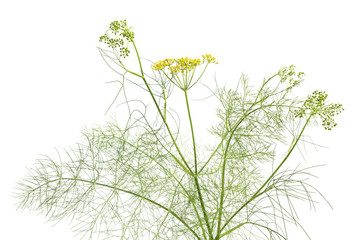 Fresh flowering fennel