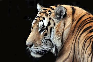 Sibirischer Tiger, Amurtiger, Katze