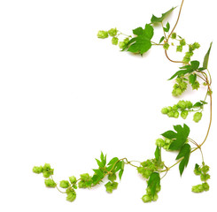 hops plant twined vine